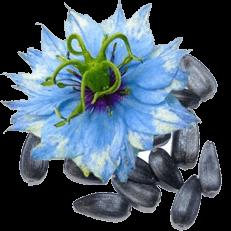 aceitedenigella inicio flor